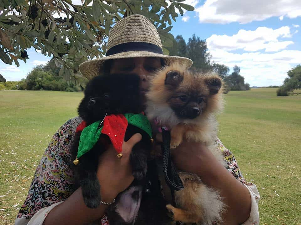Pomeranians NSW Christmas Party – 3rd December, 2017