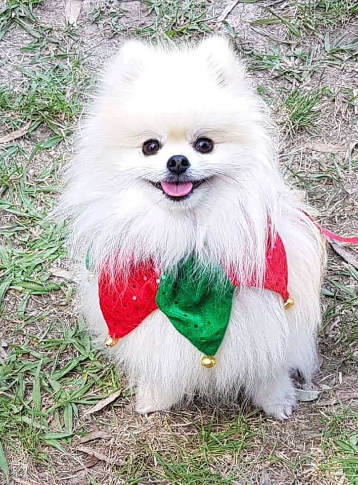 Melbourne Pomeranian Meet-Up and Christmas Party