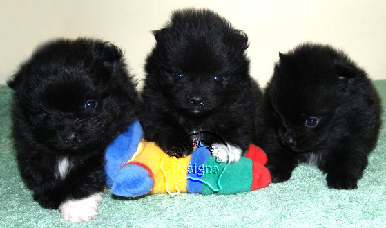 How to find a Pomeranian Puppy for Sale Australia