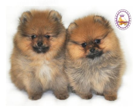 Purchasing a Pomeranian Puppy