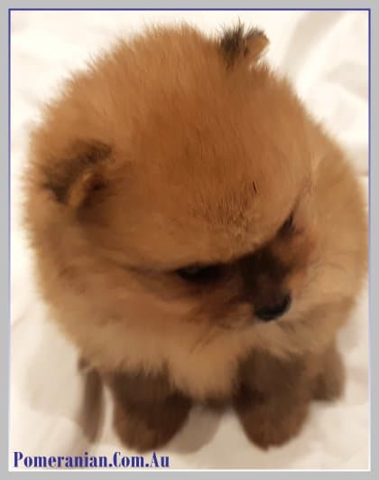 pomeranian cough vaccinations required by your pomeranianpomeranians 8836