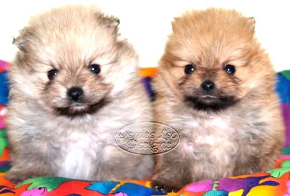 pomeranian puppy dochlaggie