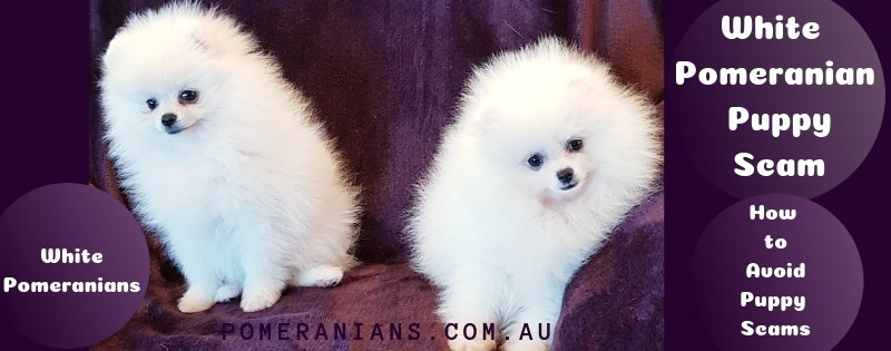 White Pomeranian Puppy Scam