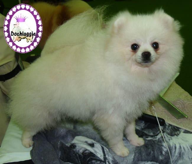 White Dochlaggie Adult. White Pomeranian