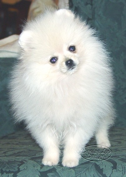 white pomeranian puppie