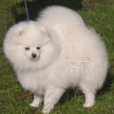 White Pomeranian Adult