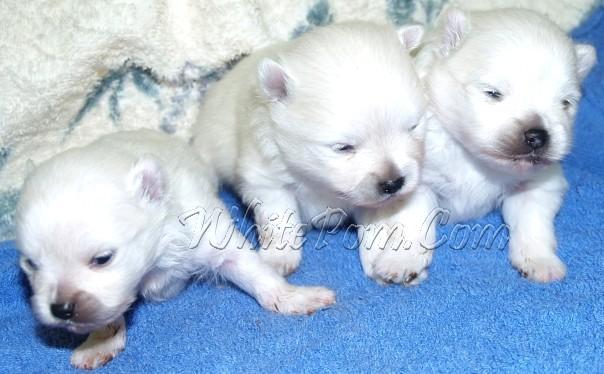 White Pomeranian Puppy Scam