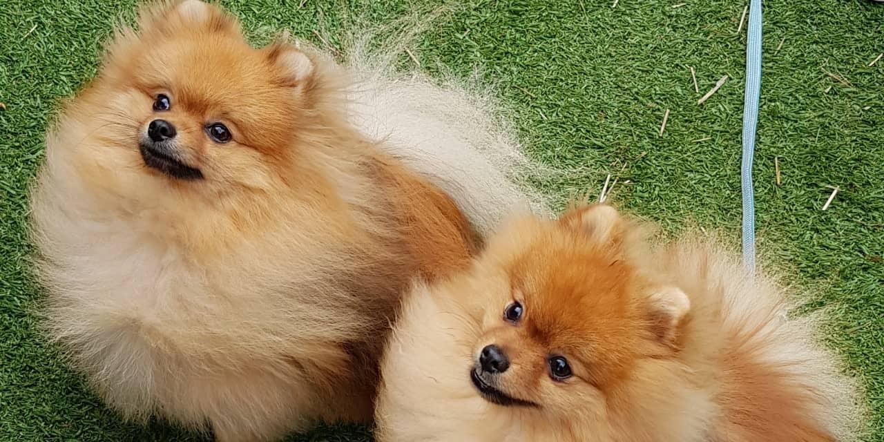 Melbourne Pomeranian Meet-Up June 2018