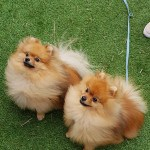 Melbourne Pomeranian Meet-Up June 2018