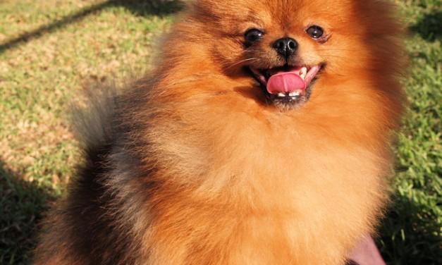 Pomeranian Imports into Australia