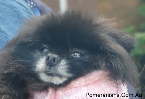 Black Pomeranian at the Melbourne Winter Pomeranian Meet Up 2019