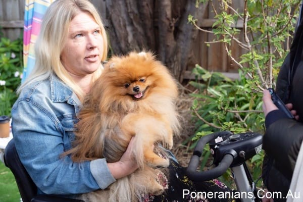 "Orange Pomeranian Dog ""Flecther"" at the Pomeranian Winter Meet Up 2019"