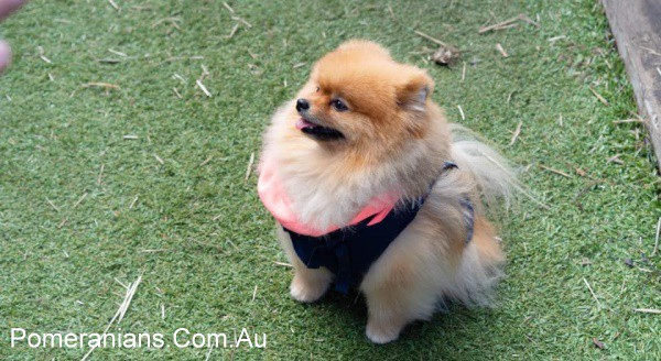 Orange Pomeranian Dog at the Pomeranian Winter Meet Up 2019