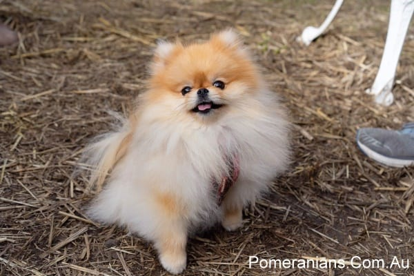 Orange Pomeranian Zoe at the Melbourne Pomeranian Picnic Winter 2019