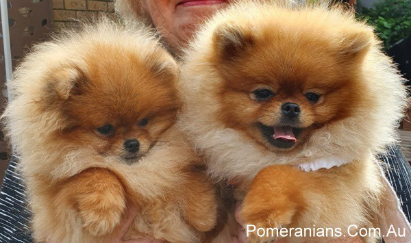 Orange Pomeranians Puppies at the Pomeranian Winter Meet Up 2019