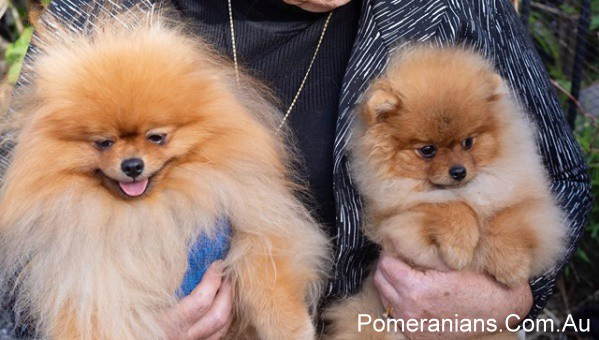 Orange Pomeranians at the Pomeranian Winter Meet Up 2019