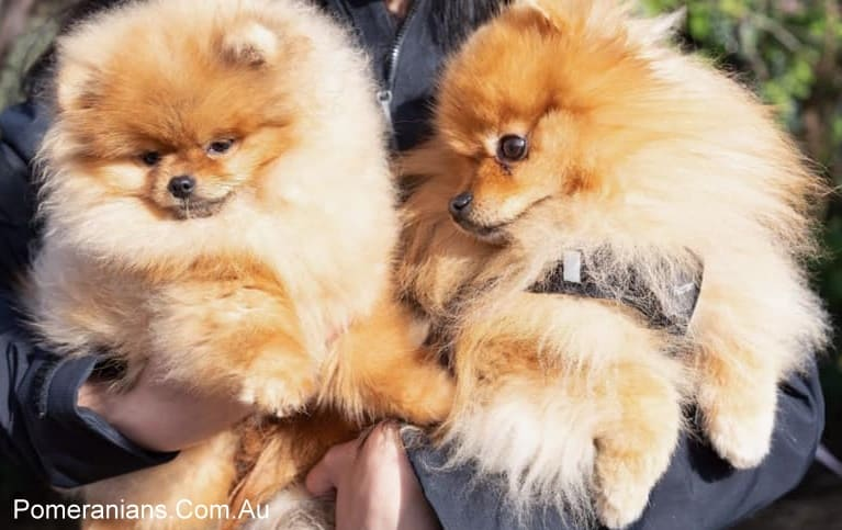 Orange Pomeranians at the Melbourne Pomeraniand Dog Meet Up Winter 2019