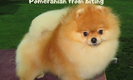 Stop Pomeranian Chewing, Pomeranian Biting and Pomeranian Nipping