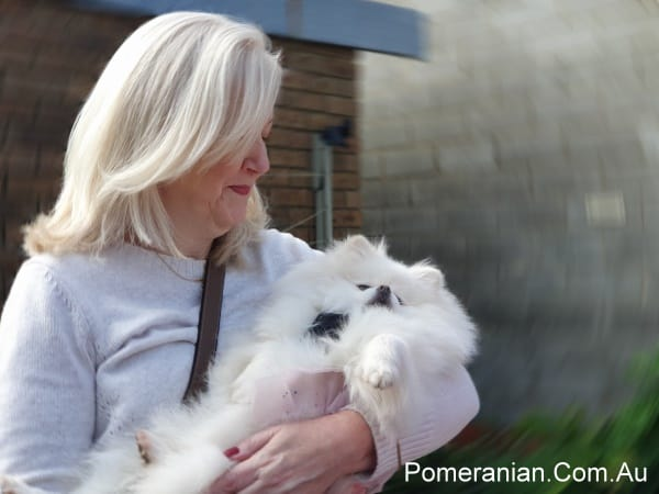 White Pomeranian at the Pomeranian Winter Meet Up 2019