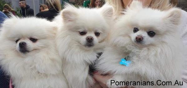 Dochlaggie White Pomeranians at the Pomeranian Winter Meet Up 2019