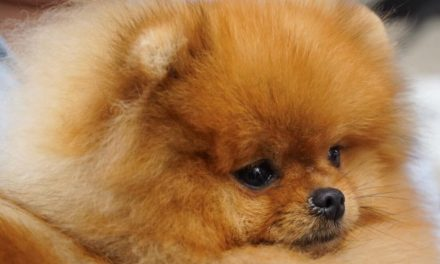 Registered Breeders and Registered Pomeranian Puppies