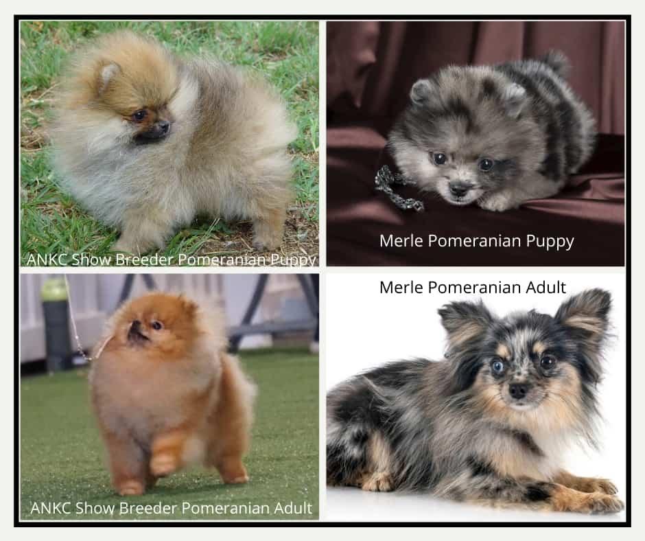 Merle Pomeranians Australia