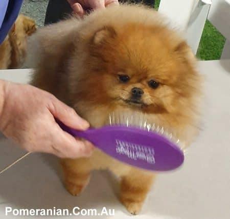 Grooming your Pomeranian like a show dog.