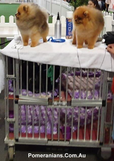 Pomeranian Show Trolley