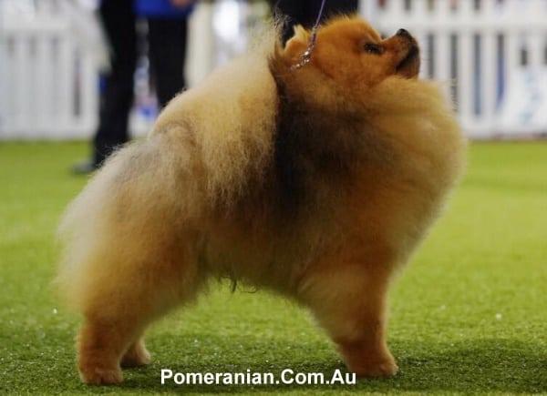 Show Quality Pomeranian