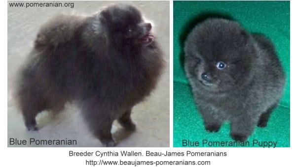 Blue Pomeranians