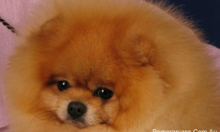 Pomeranian Dog Health Problems