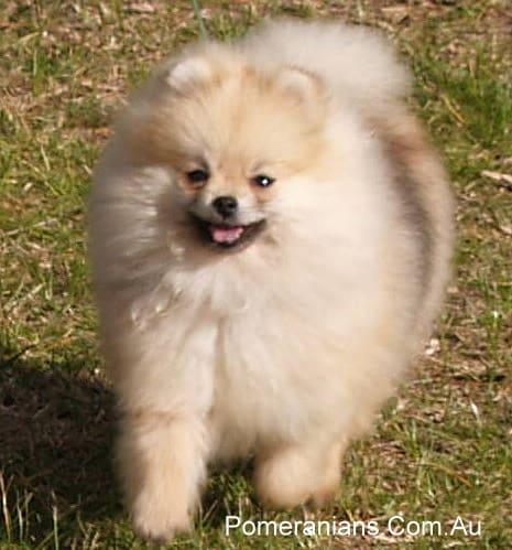 Cream Sable Pomeranian