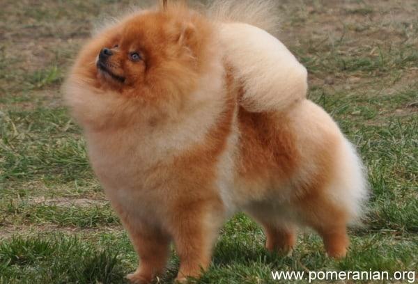 Orange Pomeranian Adult