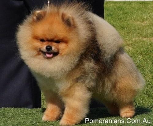 Orange Sable Pomeranian Full Grown
