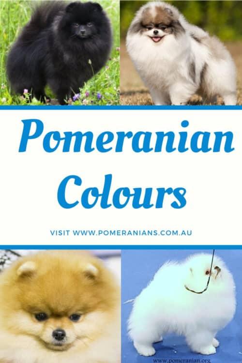 Pomeranian Colours Australia