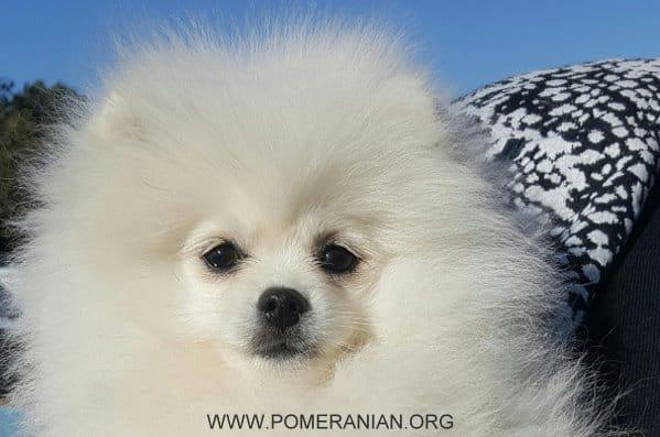 White Colour Pomeranian
