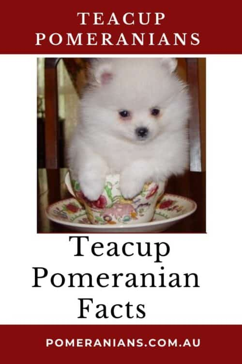 Teacup Pomeranian Facts