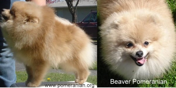 Beaver Pomeranians
