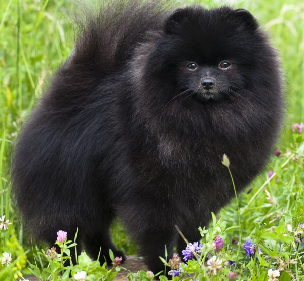 Black Colour Pomeranian Dog