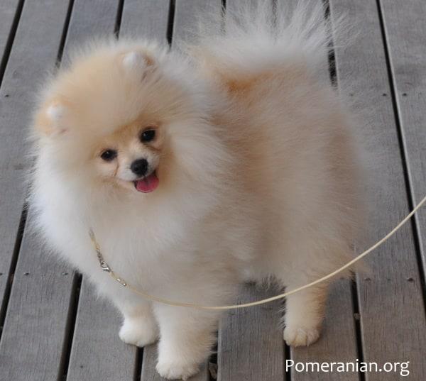 Pomeranian Puppy Cream