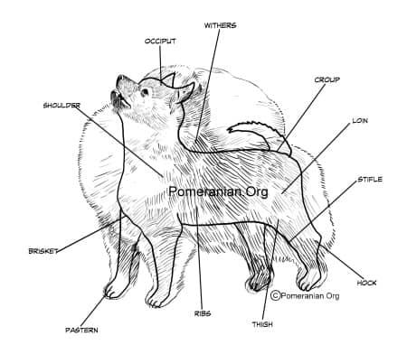Points of Pomeranian Dog