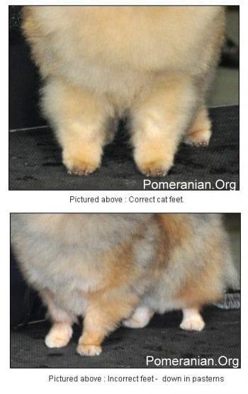 Pomeranian Feet