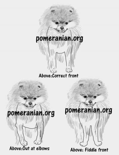 Pomeranian Forequarters