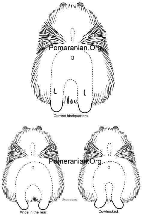 Pomeranian Hindquarters