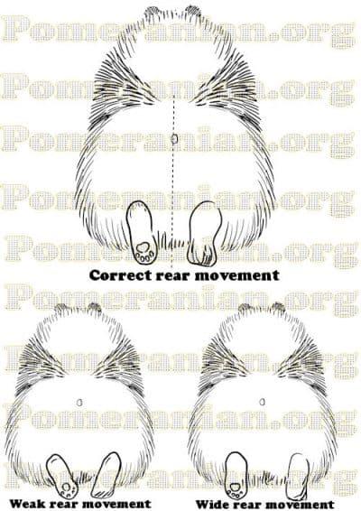 Pomeranian Rear Movement