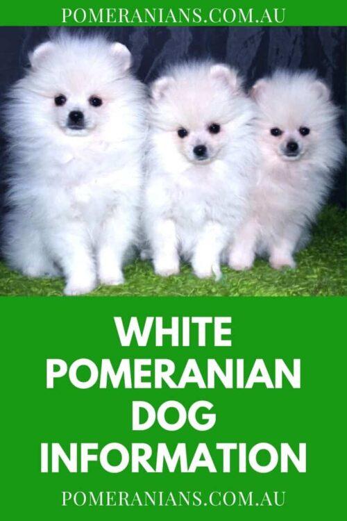 White PomeranianDog Information