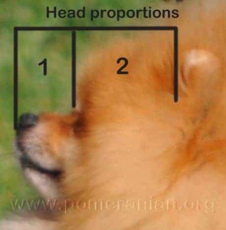 Pomeranian Head