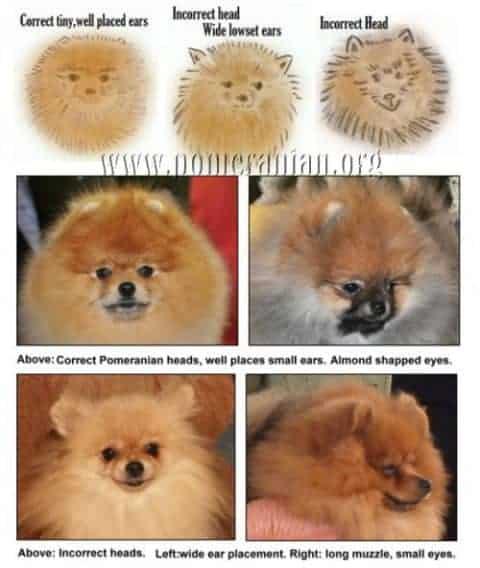 Pomeranian Heads