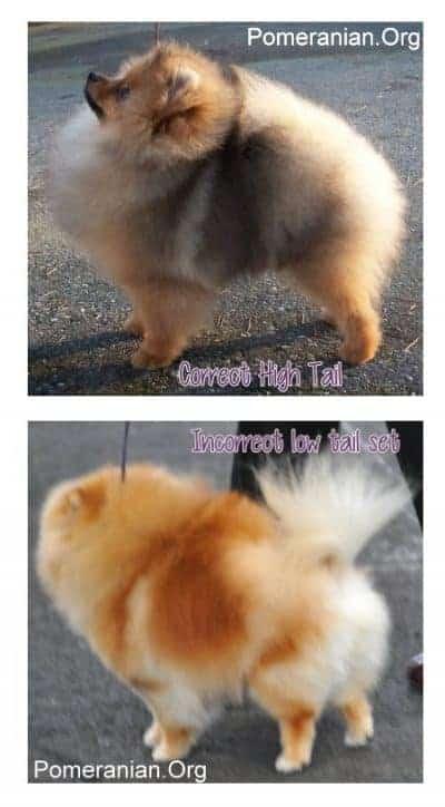 Pomeranian Tail