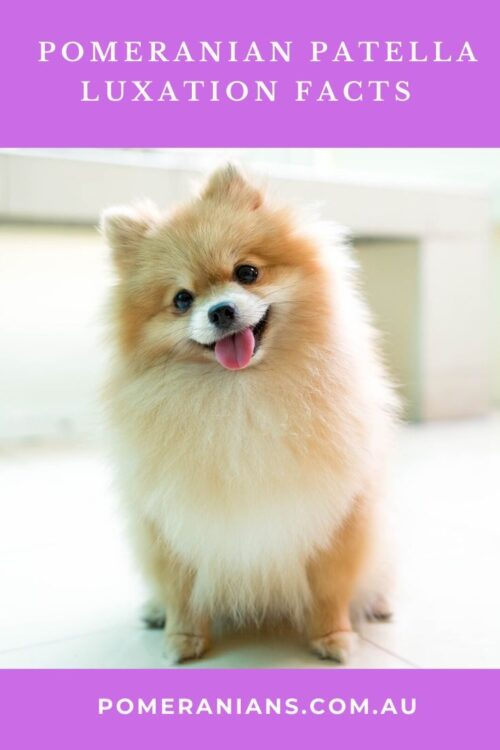 Pomeranian patella luxation
